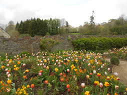 Tulips at Buckland Abbey
